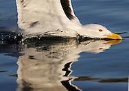 Greater Black-Backed Gull, Larus marinus.Flatanger, Norway