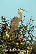 00684-035.13 Great Blue Heron (Ardea herodias) Everglades National Park   FL