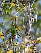 Male plum-headed parakeet (Psittacula cyanocephala) feeding on the seeds from a yellow snake tree (Stereospermum tetragonum) in Kaziranga National Park, Assam, north-east India.