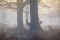 CAPTION CORRECTION © Licensed to London News Pictures. 06/02/2020. London, UK. Deer enjoy the cover of dense fog in Richmond Park this morning as weather experts predict high winds and heavy rain for the weekend. Photo credit: Alex Lentati/LNP
