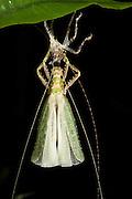 Katydid (Tettigoniidae) Moulting<br /> Yasuni National Park, Amazon Rainforest<br /> ECUADOR. South America