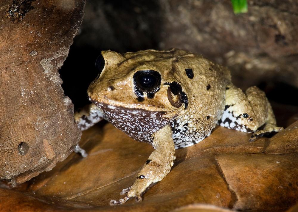 Big-headed Rainfrog (Craugastor megacephalus)