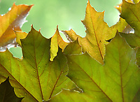 Under a canopy of maple leaves after a sunshower