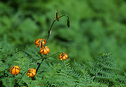 Tiger Lily AKA Columbia Lily (Lilium lancifolium), Mt. St. Helens National Volcanic Monument, Washington, US
