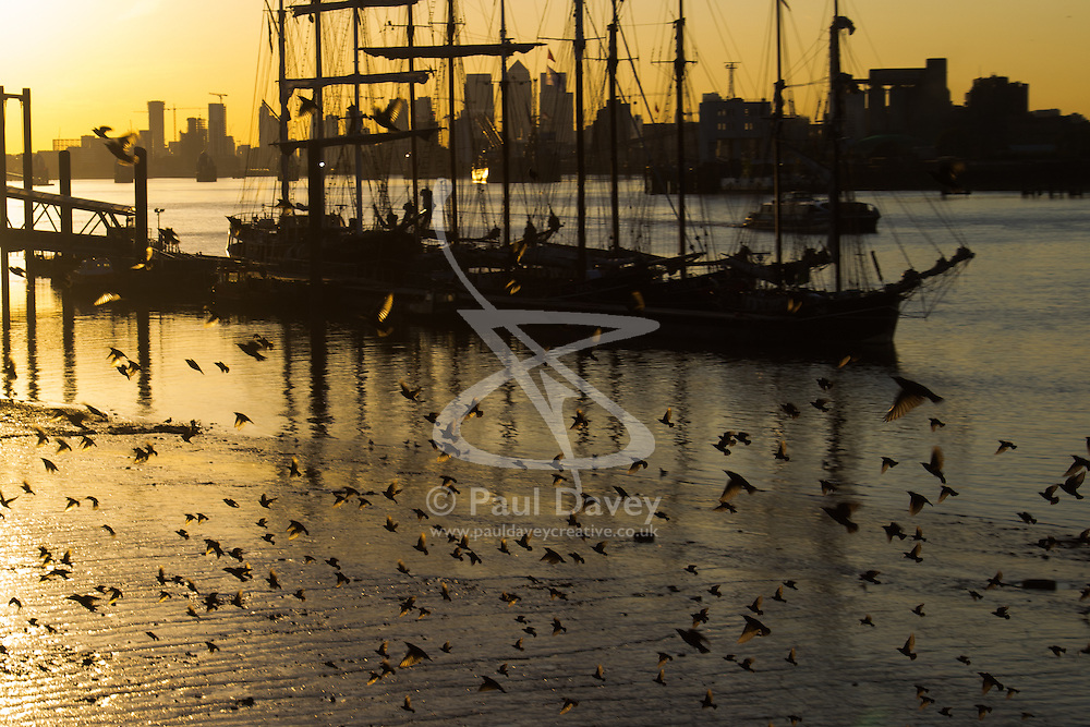 Woolwich, London, September 14th 2016. A flock of starlings speed past the mud banks as he sun sets behind the skyscrapers of Docklands and the Tall ships gathered for the Sail Greenwich Festival 2016 on the River Thames at Woolwich.  ©Paul Davey<br /> FOR LICENCING CONTACT: Paul Davey +44 (0) 7966 016 296 paul@pauldaveycreative.co.uk