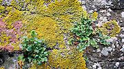 Nederland, Doornenburg, 13-8-2009Korstmossen en vetplantjes groeien op een oude muur.Foto: Flip Franssen/Hollandse Hoogte