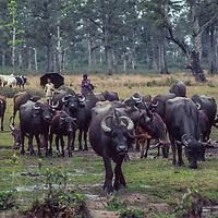 Youngsters herd water Buffalo near Chitwan in  Nepal.