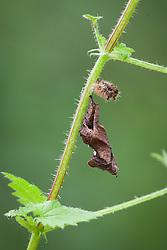 Comma butterfly chrysalis