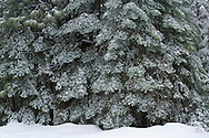 Fresh winter snow on branches of Red Fir trees at Crane Flat, Yosemite National Park, California