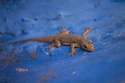 A gecko on a bright blue wall on 5th November 2009, in Jodhpur, Rajasthan, India.