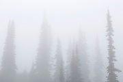Trees shrouded in thick clouds on Whistler Mountain, near Whistler, British Columbia, Canada.
