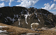 Mountain goat walked into my field of view