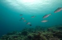 Gray Reef sharks in Yap, Micronesia