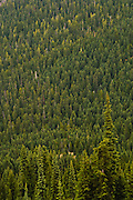 coniferous forest in the Rainier Fork drainage of the American River in the William O Douglas Wilderness, Wenatchee National Forest, Cascade Mountain Range, Washington state, USA