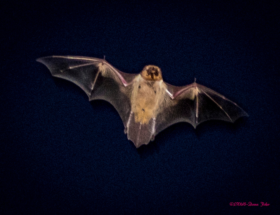 Brown bats fly around chasing insects at dusk  in backyards in Whitehall Township, Lehigh County, Pa. on July 6, 2018. Photography ©2018, donnafisherphoto.com