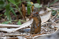 The Berdmore's ground squirrel (Menetes berdmorei) is a ground squirrel found in Southeast Asia, from the east of Myanmar to Vietnam. It is however absent on the Malay peninsula, as well as the islands. Also known as the Indochinese ground squirrel.