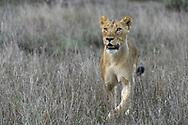 Eine Löwin des Kambula-Rudels (Panthera leo) auf der Jagd, Greater Kruger Area, Südafrika<br /> <br /> A Kambula pride lion (Panthera leo) on the hunt, Greater Kruger Area, South Africa