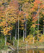 Fall leaves on the Maple trees at a small beaver pond (near the Shilly Shally Shelter) in Gatineau Park, Gatineau, Québec, Canada.  Photographed from the Lac Fortune Parkway during Fall Rhapsody at Gatineau Park.