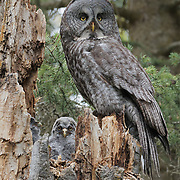 Great gray owl (Strix nebulosa) mother with her chick on the nest. Mission Valley. Montana