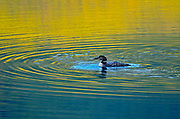 Common loon (Gavia immer)<br />Jasper National Park<br />Aaberta<br />Canada