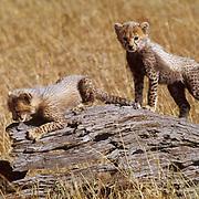Cheetah, (Acinonyx jubatus) Cubs playing on log. Serengeti Plains. Masai Mara Game Reserve. Kenya. Africa.