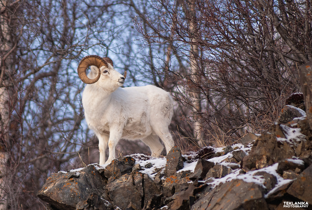 A dall sheep ram stands on a rocky slope.