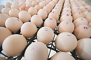 Poultry breeding farm. Eggs are inspected before incubation