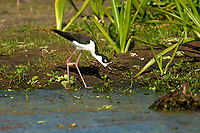 Black-necked Stilt (Himantopus mexicanus),  Green Cay Nature Area, Florida    Photo: Peter Llewellyn