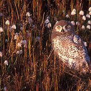 Snowy Owl, (Nyctea scandiaca) Chick, almost to fledgling stage, Barrow, Alaska.
