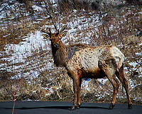 Rocky Mountain Elk with a scraggly coat after a long winter in Rocky Mountain National Park. Image taken with a Nikon D300 camera and 80-400 mm VR lens (ISO 200, 400 mm, f/8, 1/800 sec).