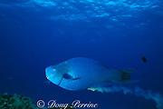 blue parrotfish, <br /> Scarus coeruleus, excreting coral sand<br /> Cozumel, Mexico ( Caribbean Sea )