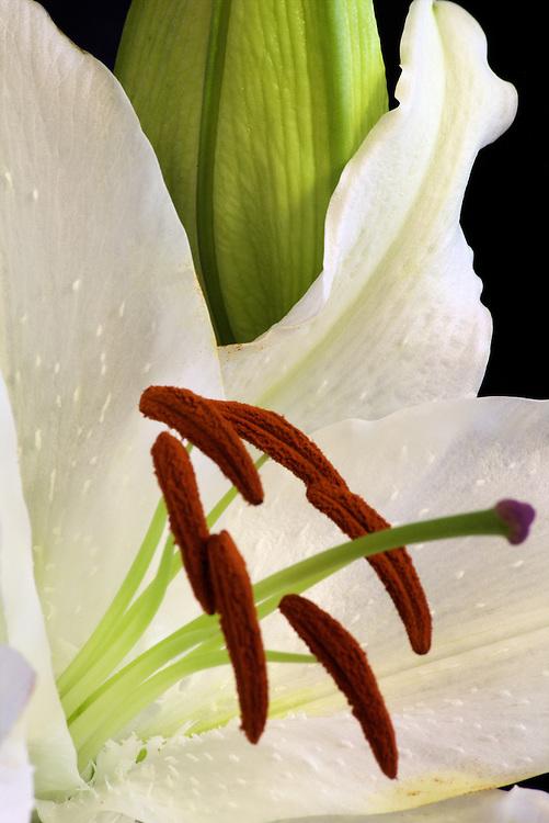 White Lilly macro