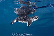 green sea turtle hatchling ( Chelonia mydas ), Endangered Species, Caribbean (c)
