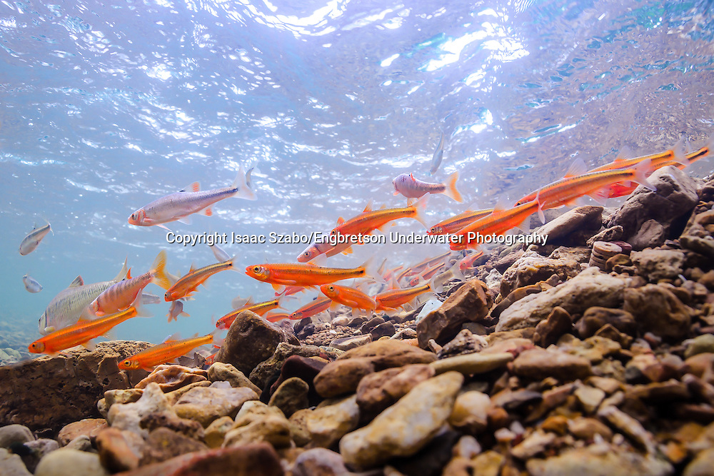 Tennessee Shiners<br /> <br /> Isaac Szabo/Engbretson Underwater Photography