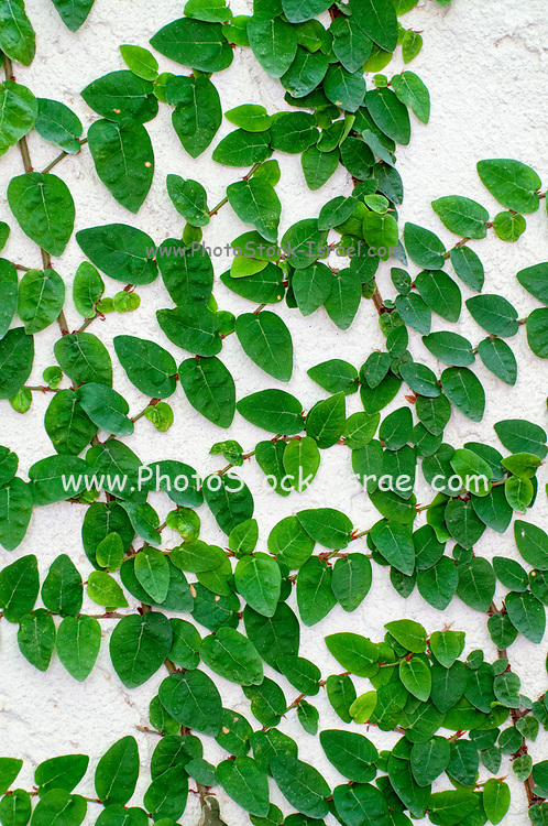 Creeping fig plant (Ficus pumila) on a white wall