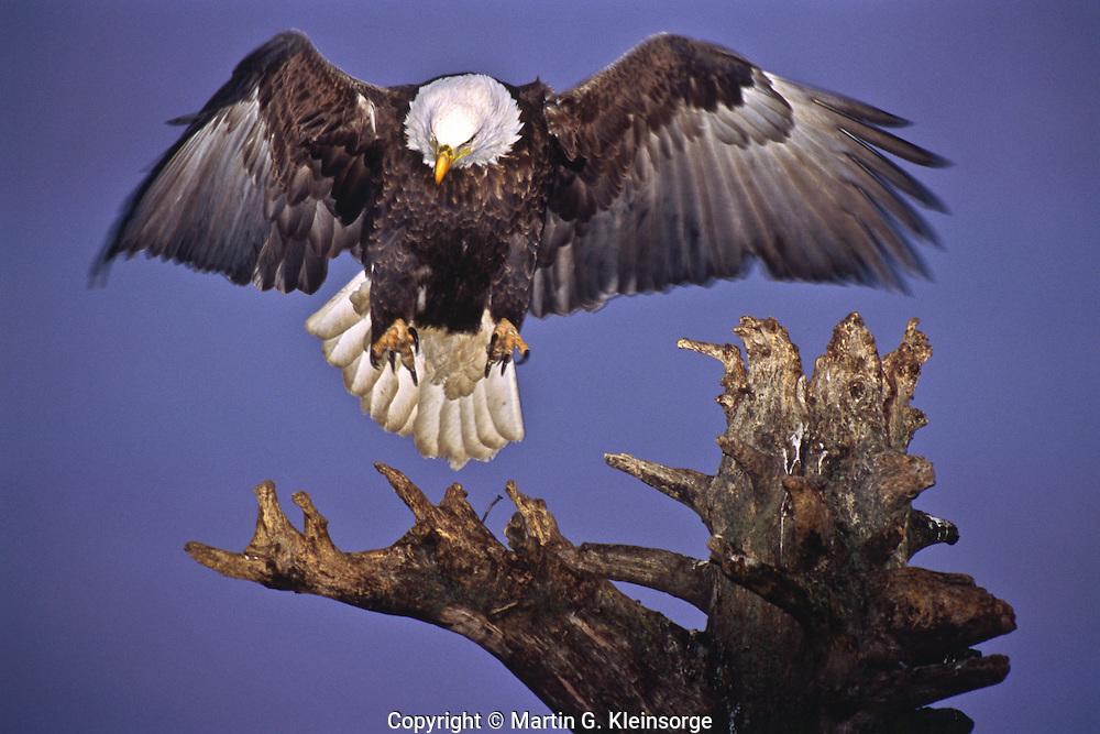 Bald Eagle (Haliaeetus leucocephalus) landing on a old tree stump.  Homer Spit, Alaska.