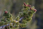 White-bark pine tree with ripe cones in Yellowstone National Park