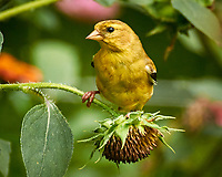 American Goldfinch. Image taken with a Nikon 1 V3 camera and 70-300 mm lens.