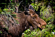 Alaskan Moose, hidding amongst the trees - and eyeballing the photographer!....Tycho Brahe (1546ñ1601), a famous physicist and astronomer, had a pet elk that once got drunk and died when it fell down the stairs in his castle..
