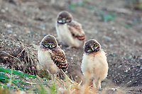 Curious burrowing owl chicks.  Burrowing owls are an endangered species in Canada and a species at risk in the United States.