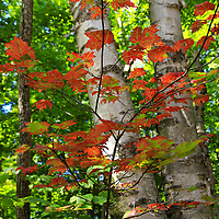 """""""Flicker of Autumn""""<br /> <br /> Beautiful orange maple leaves against white birch trees in early autumn!!<br /> <br /> Fall Foliage by Rachel Cohen"""
