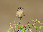 Whinchat, Saxicola rubretra, female, summer plumage, singing from tree or bush, Sutherland, Highland.<br /> animal; animals; bird; birds; chat; chats; nature; wildlife; adult<br /> one; single; lone; alone; stood; standing; look; looking; watch;<br /> watching; rural; perc