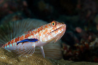 Twospot Lizardfish getting cleaned by a Wrasse II