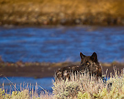 A lone black wolf appears among the sage brush.