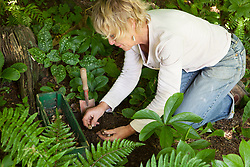 Propagating snowdrops by division. Carol Klein replanting Galanthus 'S. Arnott' in woodland area