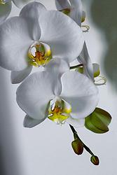 White Phaelenopsis orchid, philippinensis#2