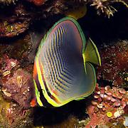 Eastern Triangular Butterflyfish inhabit reefs. Picture taken Fiji.