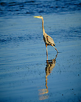 Great Blue Heron at Fort De Soto park. Image taken with a Fuji X-H1 camera and 200 mm f/2 OIS lens + 1.4x teleconverter (ISO 200, 280 mm, f/4, 1/1000 sec).