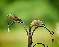 Brown-headed Cowbird (immature/female). Image taken with a NikonD850 camera and 200 mm f/2 VR lens