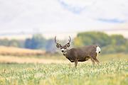 Mule Deer Buck, Montana